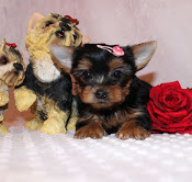 Two Yorkie Puppies Available Antiquitaeten 4