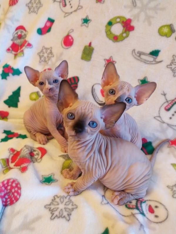 13 Wochen alte Sphynx haarlose Kätzchen erhältlich Tiere 2