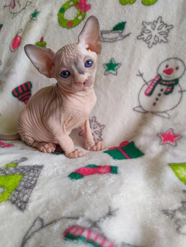 13 Wochen alte Sphynx haarlose Kätzchen erhältlich Tiere 3