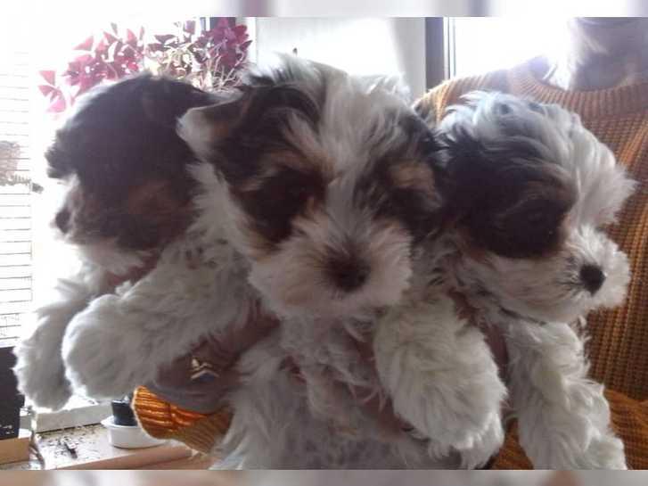Wunderschöne Biewer Yorkshire Terrier Antiquitaeten 2