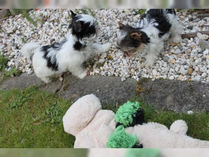 Wunderschöne Biewer Yorkshire Terrier Antiquitaeten 3