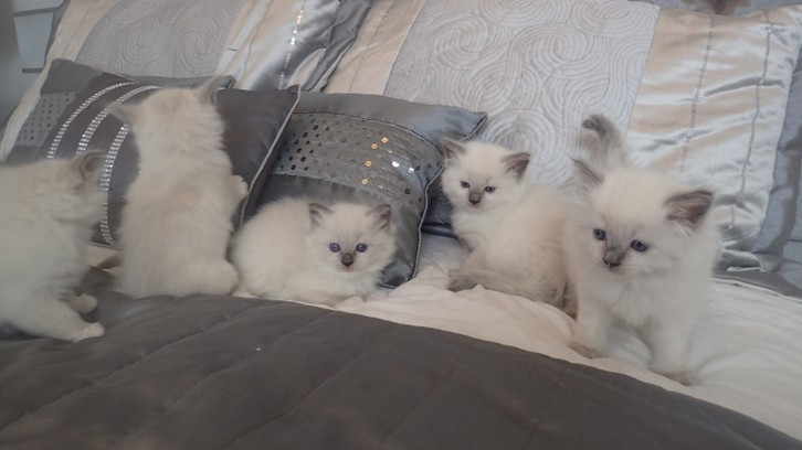 Adorable Rag Doll Kittens Available Now Antiquitaeten