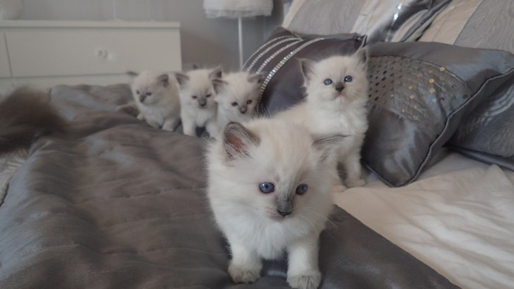 Adorable Rag Doll Kittens Available Now Antiquitaeten 4