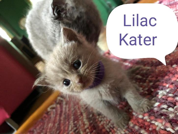 BKH Kitten reinrassig Lilac & Blue Tiere