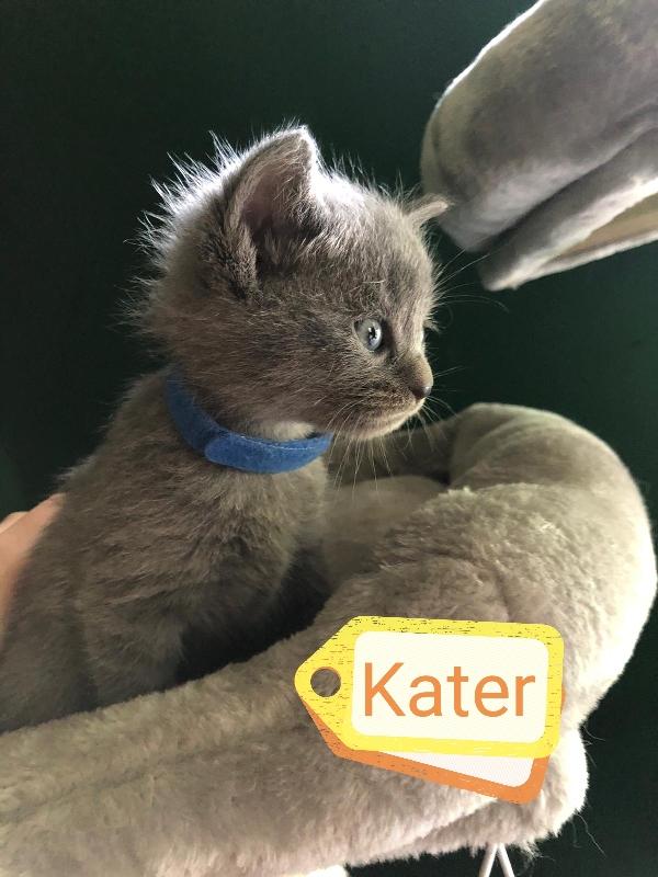 BKH Kitten reinrassig Lilac & Blue Tiere 2