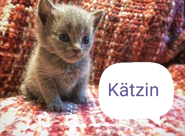 BKH Kitten reinrassig Lilac & Blue Tiere 3