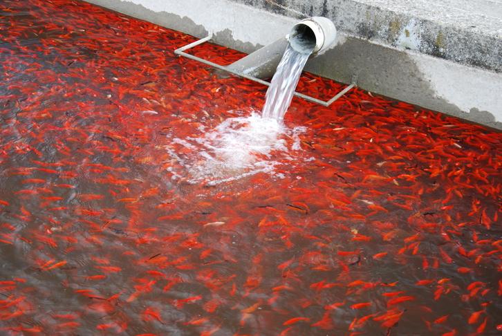 Biotopfische aus deutscher Zucht // Fa.Fördefisch Tiere 4