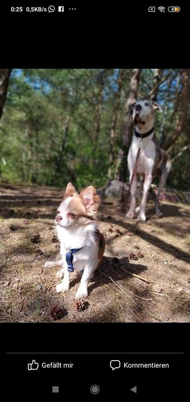 Chihuahua Welpe ( langhaar) Tiere 4