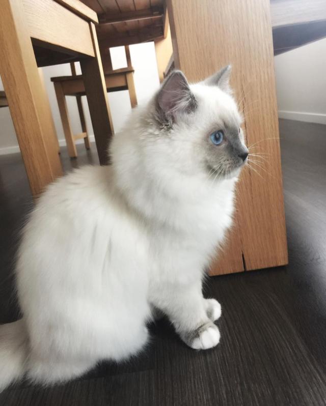 Ein Ragdoll Kätzchen für Ragdoll-Katzenfreunde Tiere 2