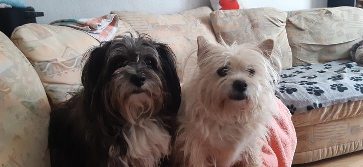 Kleinbleibender Mischlinshund gesucht Tiere
