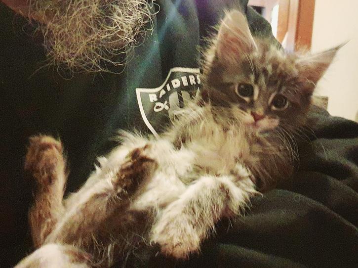 Maine Coon Kitten mit Stammbaum in blue-silver-tabby  Tiere 2