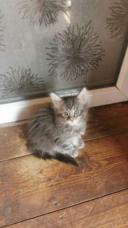 Maine Coon Kitten mit Stammbaum in blue-silver-tabby  Tiere 3