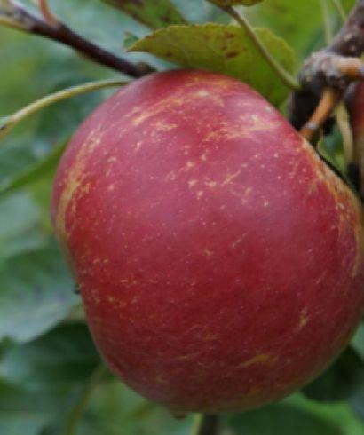 Obstbäume Garten & Handwerk 2