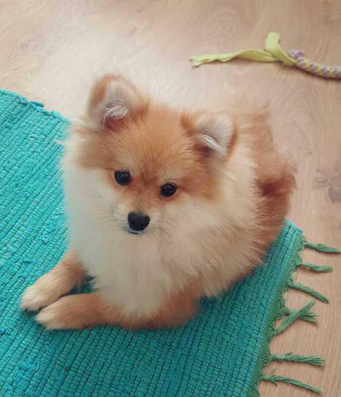 Pomeranian Welpe Rüde (kompl.geimpft,gechipt+Startpaket) Tiere