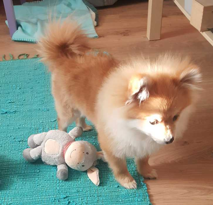 Pomeranian Welpe Rüde (kompl.geimpft,gechipt+Startpaket) Tiere 2