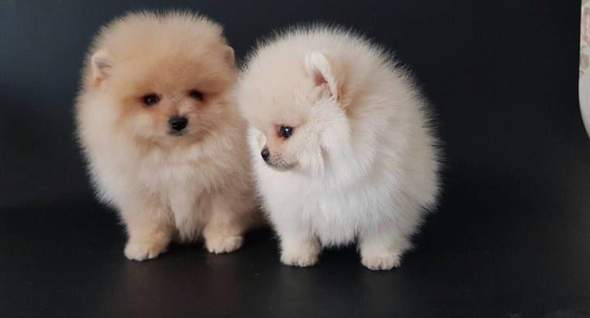 Qualität Zwergspitz / Pomeranian Welpen Tiere
