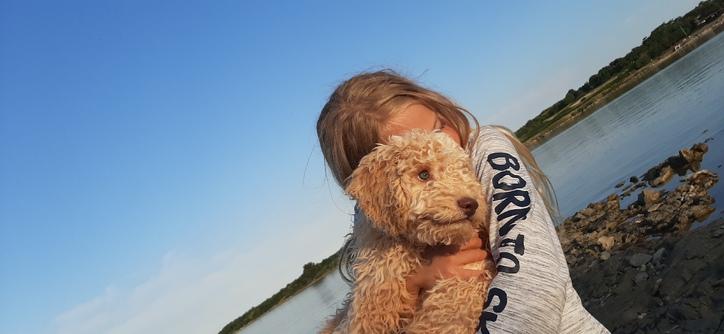 Reinrassiger apricot Wasserhund / Lagotto Romagnolo Rüde sucht ein neues zu Hause Tiere