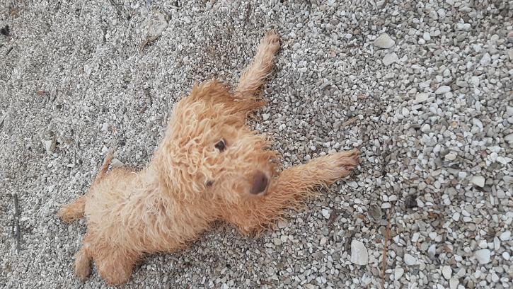 Reinrassiger apricot Wasserhund / Lagotto Romagnolo Rüde sucht ein neues zu Hause Tiere 3