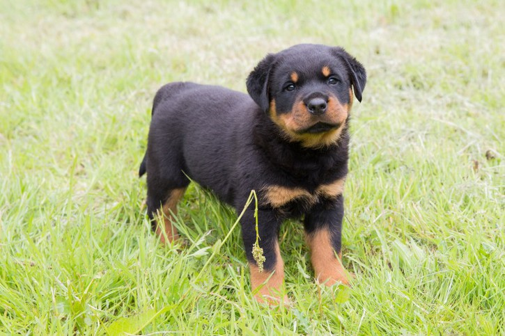 Rottweiler puppies for sale lovely temper been around other animals and young children Antiquitaeten 2