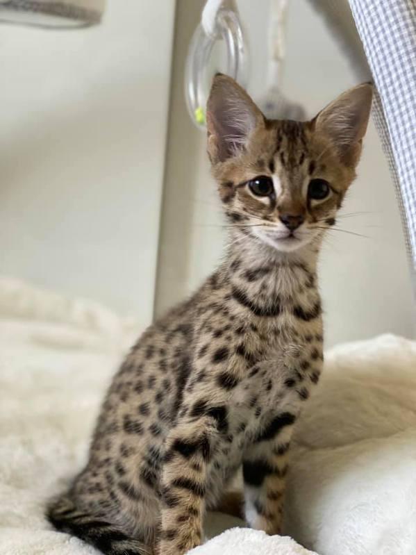 Savannah Kätzchen zu verkaufen Tiere