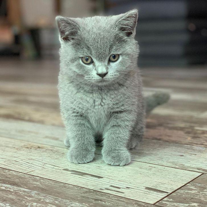 Schöne Britische Kurzhaar kätzchen für neue Häuser verfügbar ...  Tiere