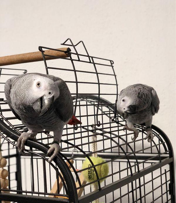 kongo grau papagei Tiere