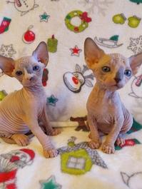 13 Wochen alte Sphynx haarlose Kätzchen erhältlich