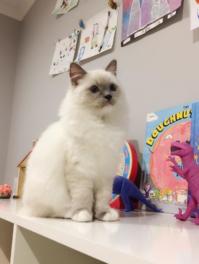 Ein Ragdoll Kätzchen für Ragdoll-Katzenfreunde