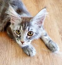 Maine Coon Kitten mit Stammbaum in blue-silver-tabby
