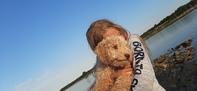 Reinrassiger apricot Wasserhund / Lagotto Romagnolo Rüde sucht ein neues zu Hause