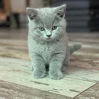 Schöne Britische Kurzhaar kätzchen für neue Häuser verfügbar ...