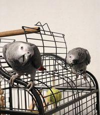 kongo grau papagei